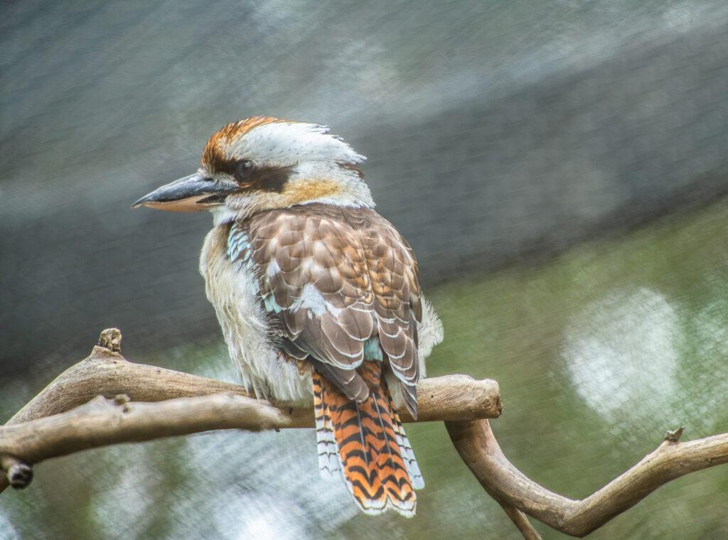 kookaburra san diego zoo