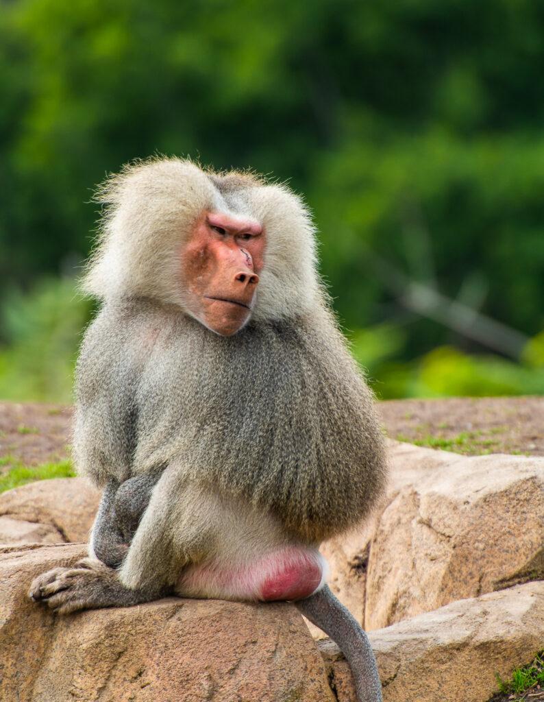 Hamadryas Baboon san diego zoo