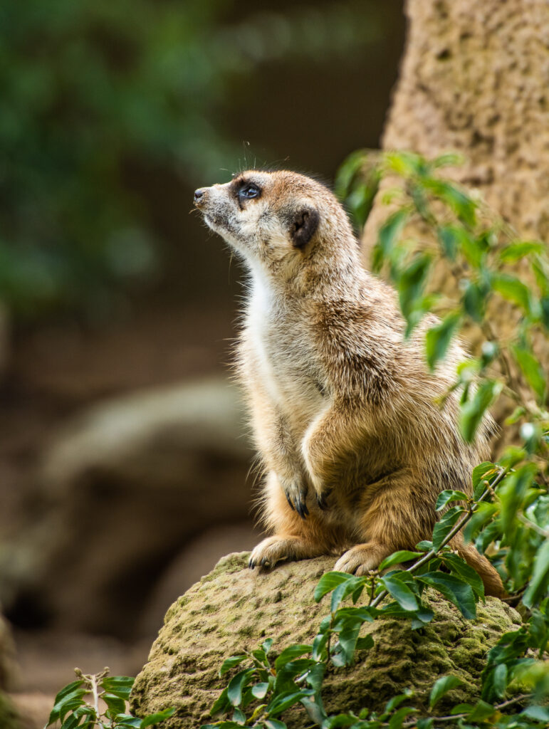 meerkat san diego zoo