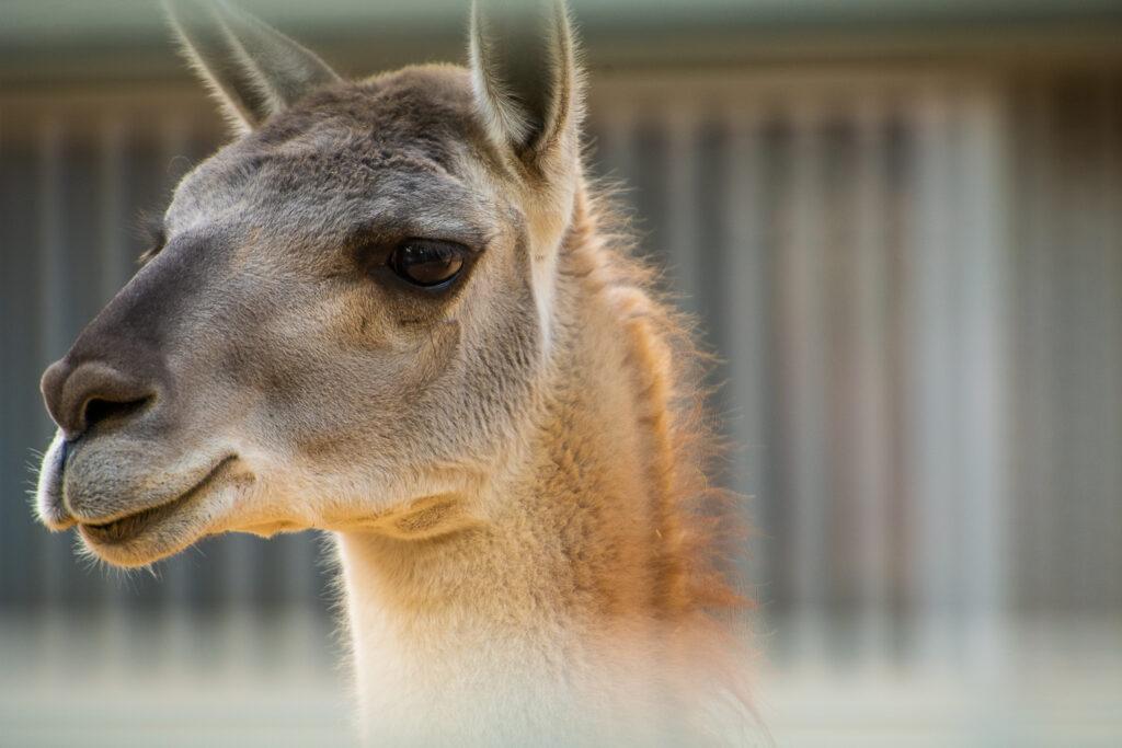 lama san diego zoo