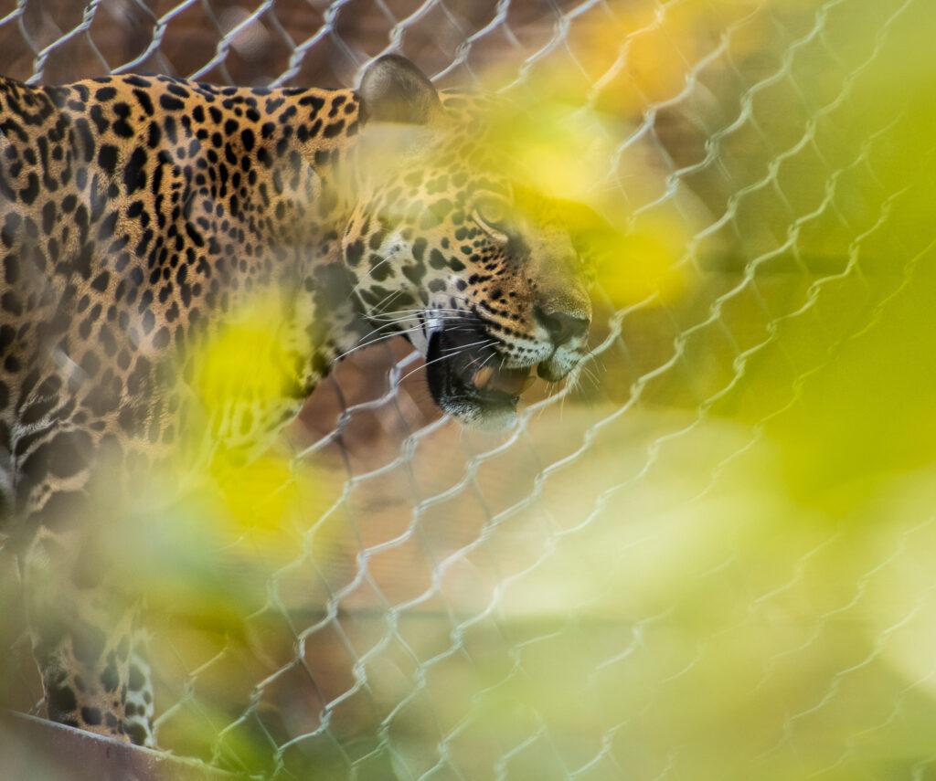 jaguar san diego zoo