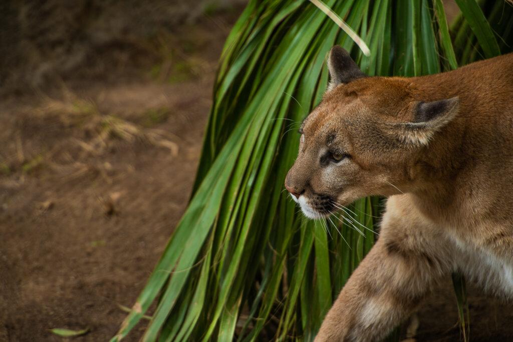 cougar san diego