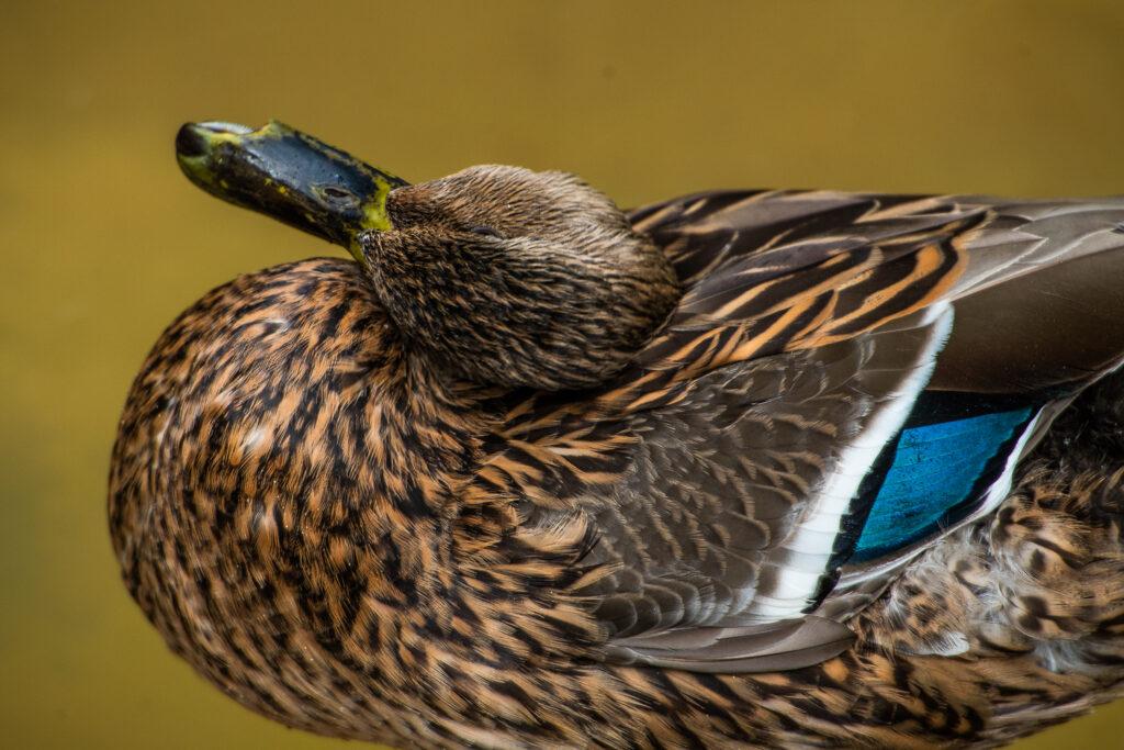 san diego zoo ducks