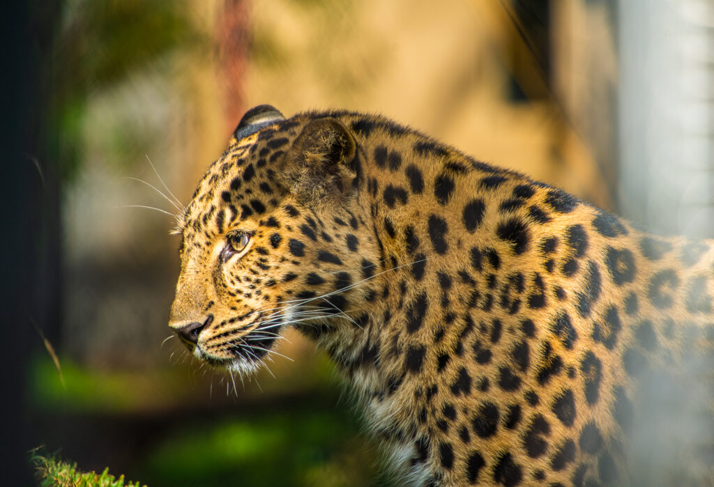 leopard san diego zoo