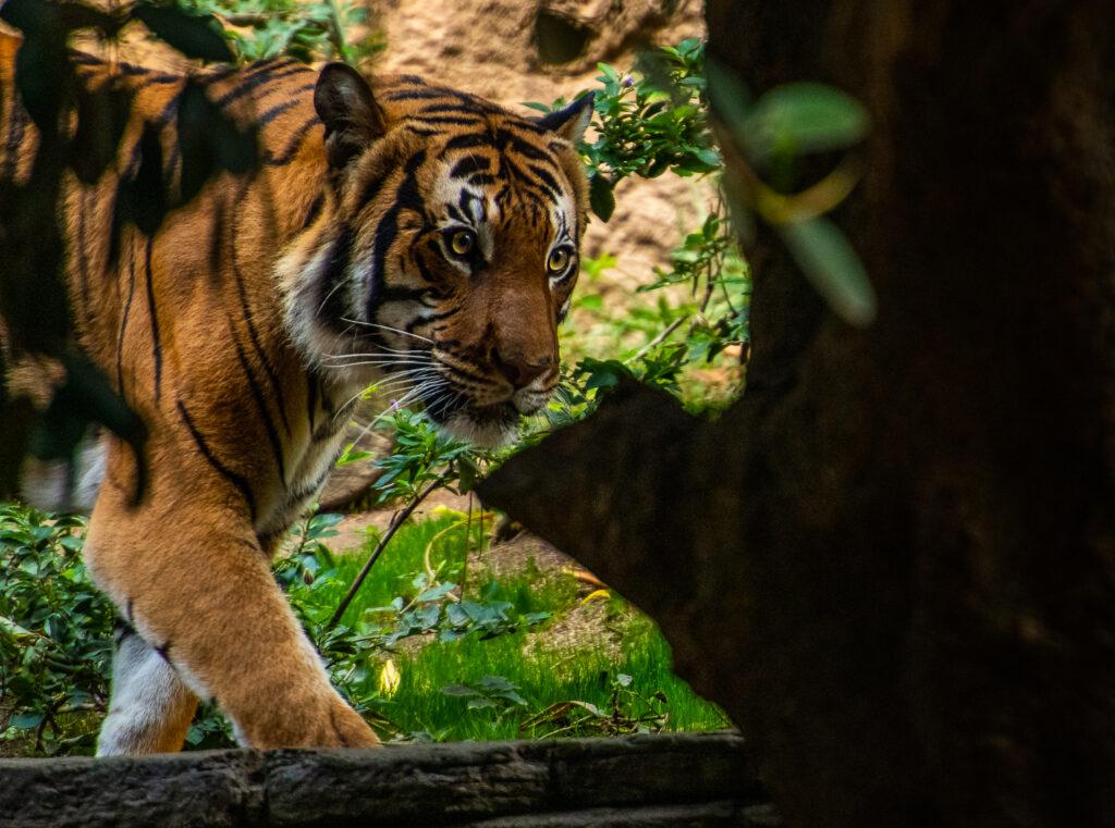 Malayan tiger san diego zoo