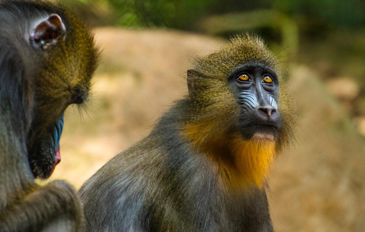 mandrill baboon san diego zoo