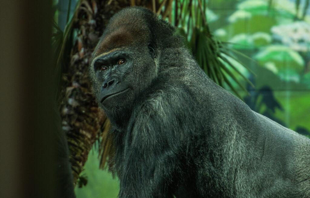 gorilla san diego
