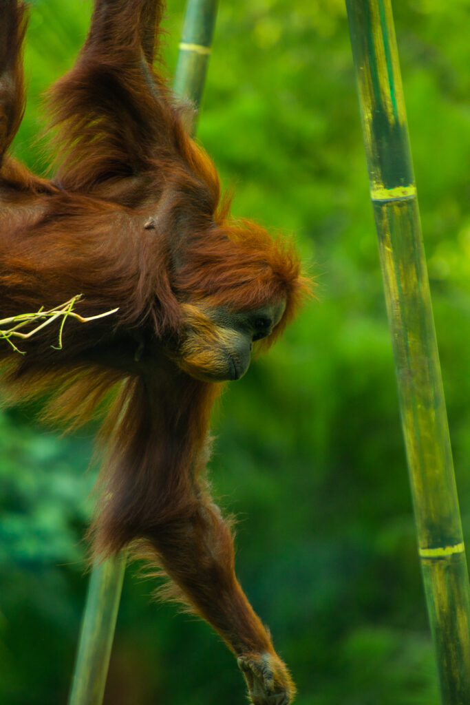 orangutan san diego zoo