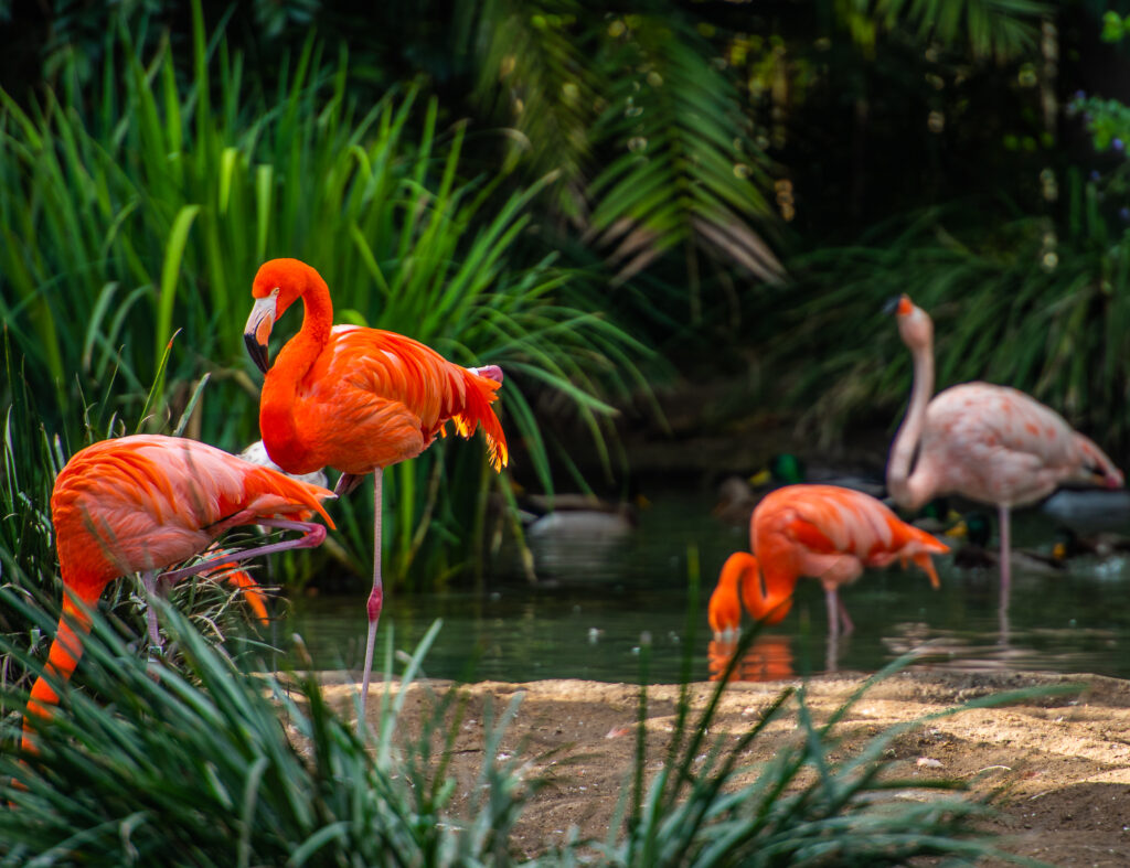 flamingos in san diego