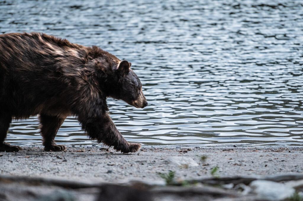 Mammoth bear